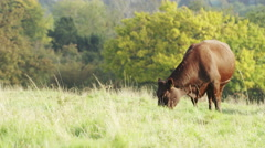 4K Cow grazing on grass on a hill on a sunny day, shot on Red Epic Dragon Stock Footage