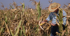 Farmer Man Working Checking Sweet Cornfield Corn Field Maize Plants Organic Farm Stock Footage