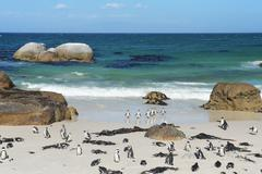 Stock Photo of penguins on the savage beach  at Cape of good hope reserve