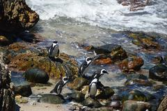 Stock Photo of penguins  on  savage beach and rocks