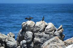 Stock Photo of Birds  on the savage beach and rocks in betty's bay