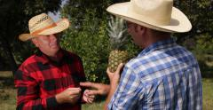 Farmers Talking Checking Pineapple Fruit Cultivation Plantation Farm Team Work Stock Footage
