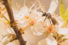 Grey Bee on Blossoms Stock Photos
