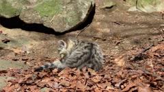 4K footage of a Wildcat (Felis silvestris) kitten - stock footage