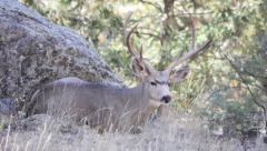 Resting Buck Deer Antlers Laying Down Chewing Expressive - stock footage