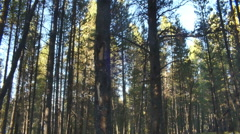 colorado forest wooded area pine trees - stock footage