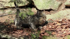 4K footage of a Wildcat (Felis silvestris) kitten with her mother - stock footage