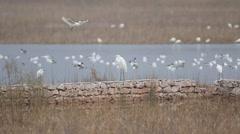 Little Egrets birds Stock Footage