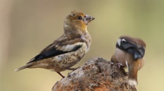 Male of Hawfinch feeding his chick Stock Footage
