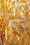 Maize cob ear on stalk - stock photo