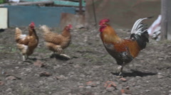 Rooster and hens Stock Footage