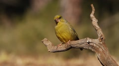 European greenfinch Stock Footage