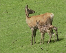 Red Deer (cervus elaphus) hind with calf at her side following Stock Footage