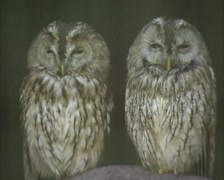 Pair of Tawny owls (strix aluco) perched - on camera Stock Footage