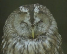 Tawny owls (strix aluco) perched - on camera Stock Footage