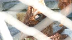4k orangutan family at the zoo Stock Footage