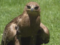 Steppe eagle (Aquila nipalensis) - on camera Stock Footage