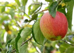 Rosy red apple ready for harvest - stock photo