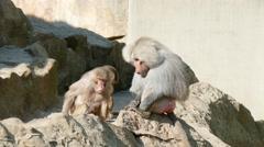 4k Hamadryas Baboons Monkey, Part Of a Baboon Monkeys Harem 2 Stock Footage