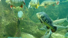 4k dream Tank with amazon fish Stock Footage