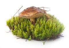 Boletus luteus in the moss - stock photo