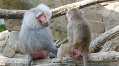 4k Hamadryas Baboons Monkey, Part Of a Baboon Monkeys Harem Stock Footage