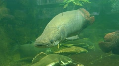 4k Arapaima Amazon fish close up Stock Footage
