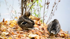 Wild duck on the lake in  autumn Stock Footage