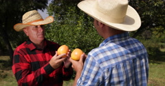 Farmers Dialogue Farmer Talk Grapefruit Harvest Men Check Fruit Orchard Teamwork - stock footage