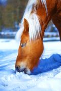 Brown Horse Haflinger in snowy pasture horse that eats snow - stock photo