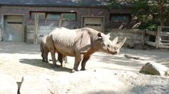 4k White Rhino And Calf Stock Footage