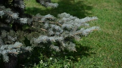 Blue spruce branches sways in breeze Stock Footage