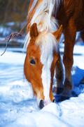 Brown Horse Haflinger in snowy pasture. Snow land - stock photo