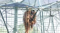 4k orangutan in cage Stock Footage