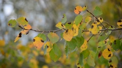 poplar leaves in the autumn wind - stock footage