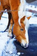 Brown Horse Haflinger in snowy, on the way - stock photo