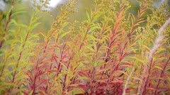 Stock Video Footage of autumn grass swaying in  wind