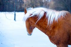 Brown Horse Haflinger in snow land. staring into the distance - stock photo