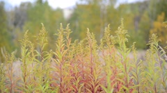 Autumn grass swaying in  wind Stock Footage