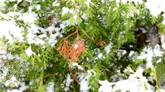 Snowing on green and brown thuja branches stirred by breeze Stock Footage