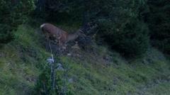 Female deer grazing in a meadow Stock Footage
