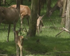 Red Deer hinds (cervus elaphus) with calves in forest Stock Footage
