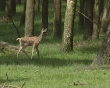 Stock Video Footage of Red Deer calf (cervus elaphus) carefully wanders in forest.