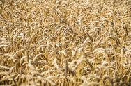 Stock Photo of close up of a wheat field in summer
