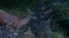 Female red deer grazes Stock Footage