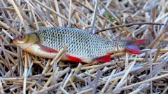 Beautiful Rudd. Fresh fisherman's catch Stock Footage