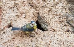 Blue tit with food for young Stock Photos