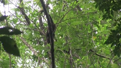 Bear Cuscus climb down tree in the evening 2 Stock Footage