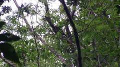 Bear Cuscus climb tree in the afternoon 5 Stock Footage