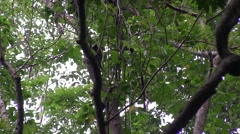 Bear Cuscus climb tree in the evening 4 Stock Footage